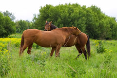Red horses Royalty Free Stock Photos