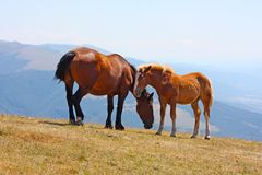 Red horses taken in the Apennines Stock Images