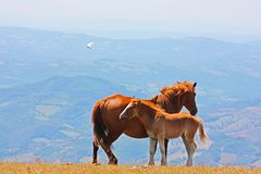 Red horses taken in the Apennines Stock Image