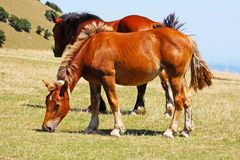 Red horses taken in the Apennines Royalty Free Stock Image