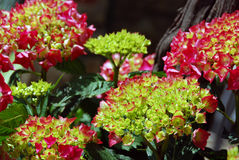 Red hortensia Royalty Free Stock Images