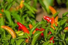 Red hot banana peppers on bush Stock Image