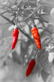 Red hot chili on black and white background Royalty Free Stock Images