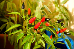 Red hot chili pepper plant Stock Images