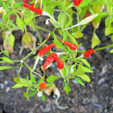 Red hot chili peppers. Plants growing in a pots Stock Images