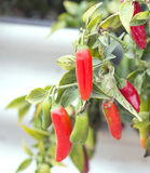 Red chili peppers. Royalty Free Stock Photos