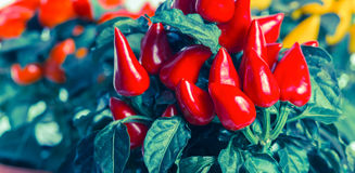 Red hot chili peppers in pot, instagram style, panoram Royalty Free Stock Photo