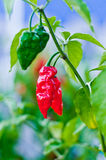 Red hot chili peppers. Spicy red peppers for spicy life Royalty Free Stock Images