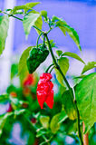 Red hot chili peppers. Spicy red peppers for spicy life Royalty Free Stock Photography