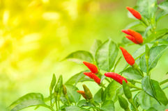 Red hot chili plant in the gardens Stock Images