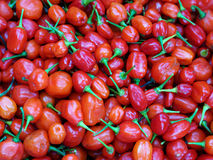Red hot chilli Royalty Free Stock Images