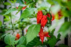 Red hot chilli ghost pepper Bhut Jolokia on a plant. Capsicum chinense peppers on a green plant with leaves in home garden or a farm royalty free stock photos