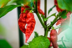 Red hot chilli ghost pepper Bhut Jolokia on a plant. Capsicum chinense peppers on a green plant with leaves in home garden or a farm royalty free stock photo