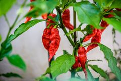 Red hot chilli ghost pepper Bhut Jolokia on a plant. Capsicum chinense peppers on a green plant with leaves in home garden or a farm stock images