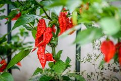 Red hot chilli ghost pepper Bhut Jolokia on a plant. Capsicum chinense peppers on a green plant with leaves in home garden or a farm stock photos