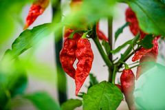 Red hot chilli ghost pepper Bhut Jolokia on a plant. Capsicum chinense peppers on a green plant with leaves in home garden or a farm stock photography