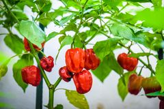Red hot chilli pepper habanero red caribbean on a plant. Capsicum chinense peppers on a green plant with leaves in home garden or a farm royalty free stock photos