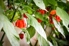 Red hot chilli pepper habanero red caribbean on a plant. Stock Photography