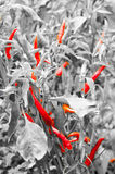 Red hot and chilly peppers Royalty Free Stock Photos