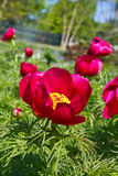 Red hot Peonies. The spectacular flowers of red fern-leaf Peonies, Paeonia tenuifolia Stock Photography