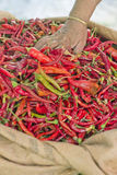 Red Hot Peppers. Senior woman hand in red hot pepper heap Royalty Free Stock Photos