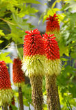 Red Hot Poker Royalty Free Stock Image