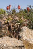A red hot poker aloe on a rocky hillside. Stock Photo