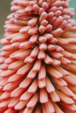 Red hot poker Royalty Free Stock Images