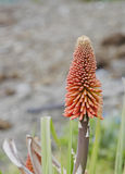 Red hot poker Stock Photography