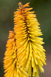 Red Hot Poker Flower Closeup Royalty Free Stock Photography