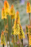 Red Hot Poker Flower Stock Photography