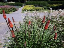 Free Red Hot Poker Flowers In The Garden. Royalty Free Stock Images - 164269899