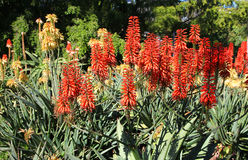Red Hot Poker flowers, Kniphofia Royalty Free Stock Photos