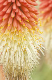 Red hot poker flowers Royalty Free Stock Image