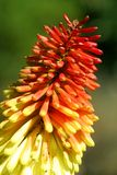 Red Hot Poker - kniphofia Stock Photos