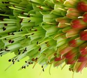 Red hot poker plant. Close up Stock Photos