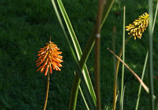 Red Hot Poker plant Stock Photography