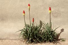 Red Hot Poker Plants Royalty Free Stock Images