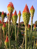 Red hot poker torch lily Royalty Free Stock Photo