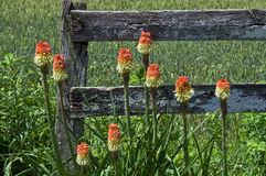 Red hot pokers. Red hot poker flowers in front of old fence Stock Photo