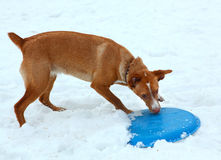 Red hound boy play with frisbee in snow park Royalty Free Stock Photography