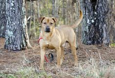 Red Hound dog mixed breed dog male. Not neutered male hound retriever mutt mixed breed dog on red leash in pine trees. Wagging tail. Outdoor pet adoption Stock Photos