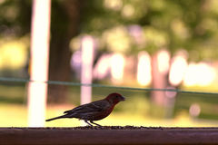 Red house finch. On my deck Stock Images