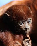 Red howler baby Royalty Free Stock Image