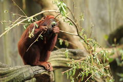 Red howler Stock Photos