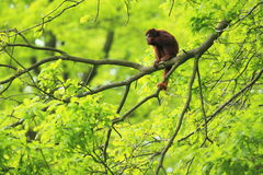 Red howler. The red howler juvenile sitting on the tree Stock Photos