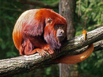 Red howler monkey Stock Photo