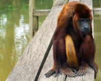 Red Howler Monkey Stock Photo