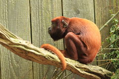 Red howler Stock Image