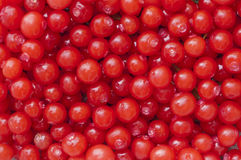 Red huckleberries royalty free stock images